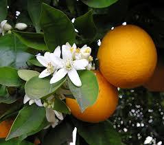 Flor de azahar y naranjas en Sevilla, donde se celebrará el Encuentro de verano para la enseñanza del español - enele.